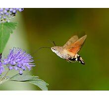 Macroglossum stellatarum Linnaeus  Photographic Print