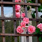 Social climbing roses by MarianBendeth