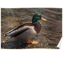 Daddy Mallard looks for a meal. Poster