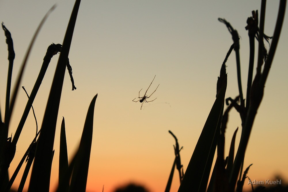 Spider in a Sunset by Adam Kuehl