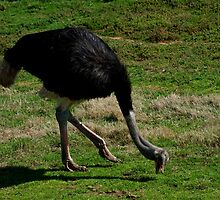 Ostrich - Shall We Dance? by GP1746