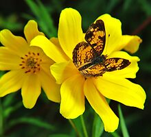 Pearl Crescent on Jerusalem Artichoke Flower by Ron Russell