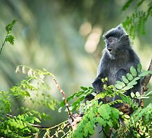 Silver Leaf Monkey by Dean Mullin