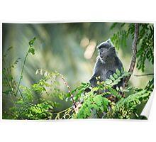 Silver Leaf Monkey Poster