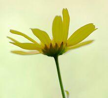 Yellow Flower Fine Art by Mandy  Harvey