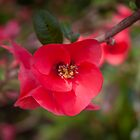 Japonica (Flowering Quince) by Elaine Teague