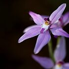 Caladenia Latifolia by Sandra Chung