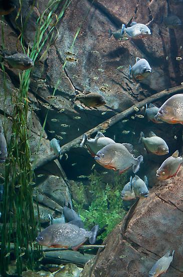 Peachy Piranhas  by Pete Karl II