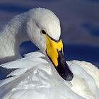 Whooper Swan Portrait by M.S. Photography/Art