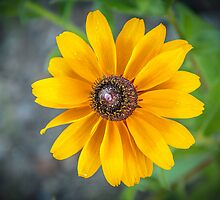 Blackeyed Susan at Argo Cascades by Robert Kelch, M.D.