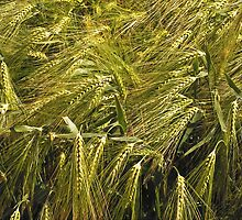 Rye by Vac1