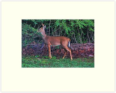 Little Buck by Rick  Friedle