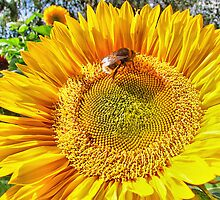 Bumble Bee And Sunflower by Colin  Williams Photography