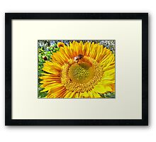 Bumble Bee And Sunflower Framed Print