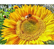 Bumble Bee And Sunflower Photographic Print