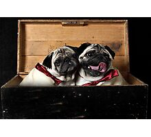 Pugs in a Box Photographic Print