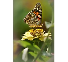 Lady's painted yellow belly Photographic Print