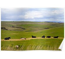 Cows in a Paddock Poster