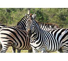 Zebra at Kwara Photographic Print