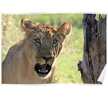 Lioness at Kwara Poster