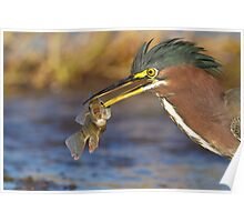 Green Heron with breakfast Poster