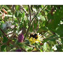 Beautiful Bumble Photographic Print