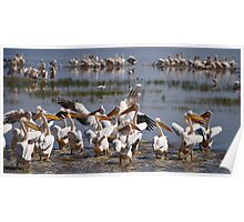Great White Pelicans at Lake Nakuru Poster
