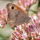 Meadow Brown by Astrid Ewing Photography