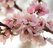Cherry Blossoms by Mandy  Harvey
