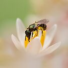 Solitary bee by Rachael Talibart