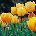 Golden Tulips by Citisurfer