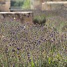 Lovely Lavender - l'Abbaye de Maillezais by Pamela Jayne Smith