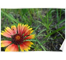 Late Summer Daisy Poster
