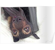 Beatrix - Spectacled Flying Fox Poster
