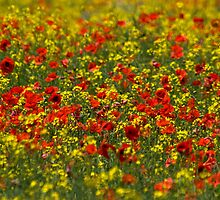 Meadow of poppies by F8gallery