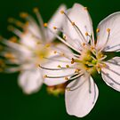 Cherry Blossoms by Keld Bach