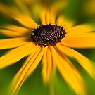 Black-Eyed Susan by Keld Bach