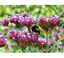 Busy As A Bee Photographic Print