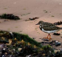 Turnstone by Country  Pursuits