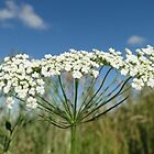 Wild Carrot by AH64D
