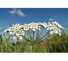 Wild Carrot Photographic Print