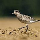 Black-bellied Plover by Bill McMullen
