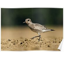Black-bellied Plover Poster