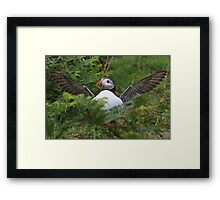 Flasher Puffin Framed Print