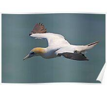 Gannet Flight Poster