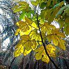 Fig Leaves by globeboater