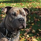 Pit Bull in the Sun by brijo