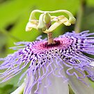 Passion Flower 1 by ©Dawne M. Dunton