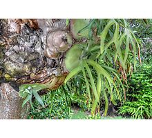 Staghorn Fern on a tree in Nassau, The Bahamas Photographic Print