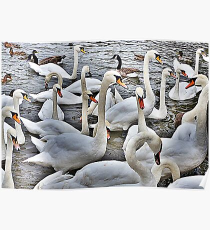 Swans at Bowness. Poster